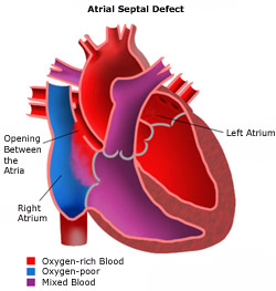 anatomy of the heart